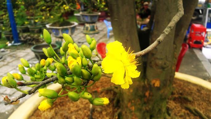 Lão mai được hét giá 3 tỉ đồng tại chợ hoa Xuân Đà Nẵng - Ảnh 4.