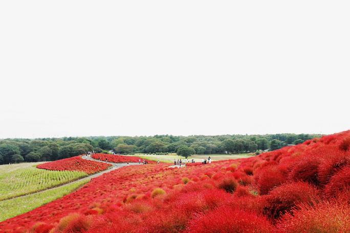 Cỏ đổi màu nhuộm đỏ một triền đồi - Ảnh 7.