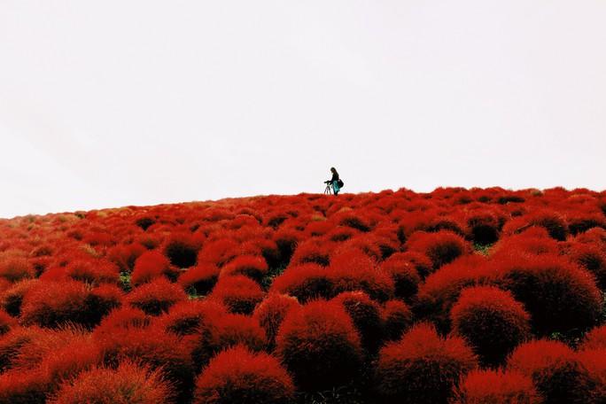 Cỏ đổi màu nhuộm đỏ một triền đồi - Ảnh 9.