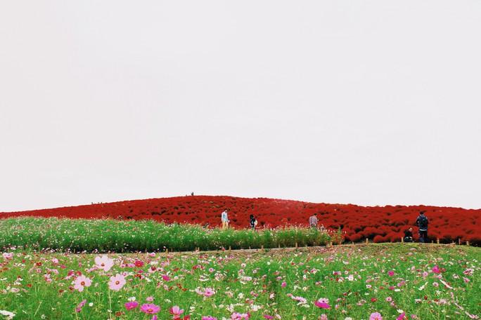 Cỏ đổi màu nhuộm đỏ một triền đồi - Ảnh 11.