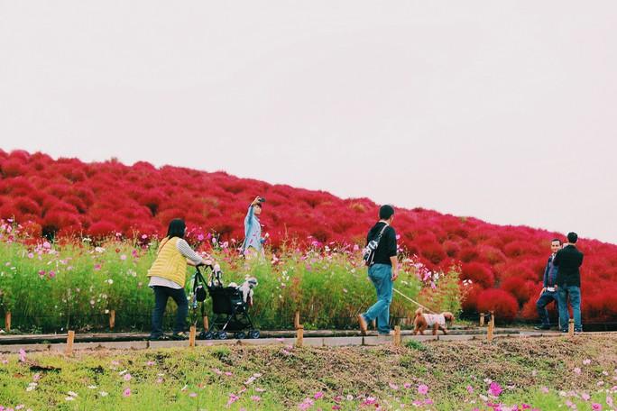Cỏ đổi màu nhuộm đỏ một triền đồi - Ảnh 5.
