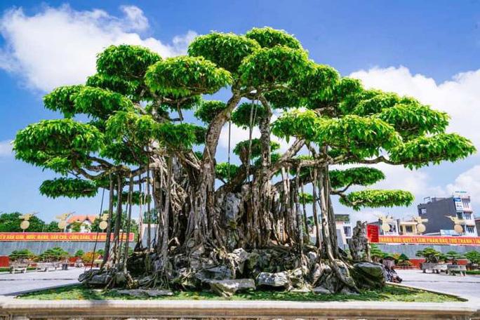 Choáng với cây sanh cổ được khách Nhật định giá hơn 20 triệu USD - Ảnh 1.
