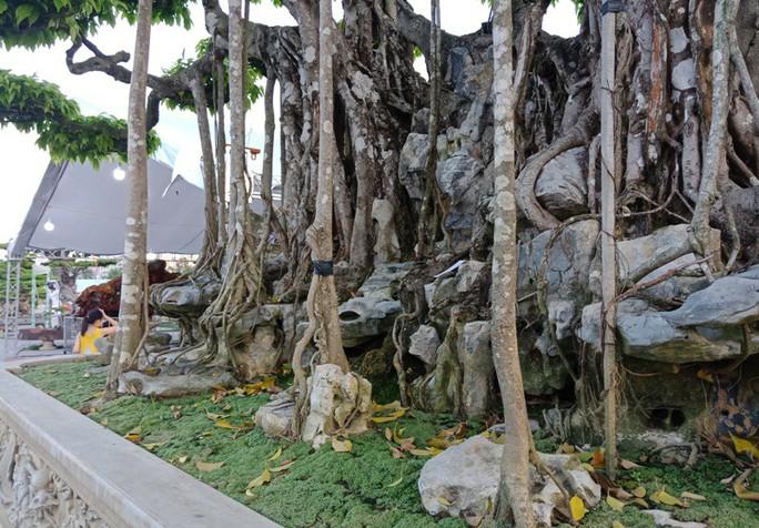 Choáng với cây sanh cổ được khách Nhật định giá hơn 20 triệu USD - Ảnh 14.