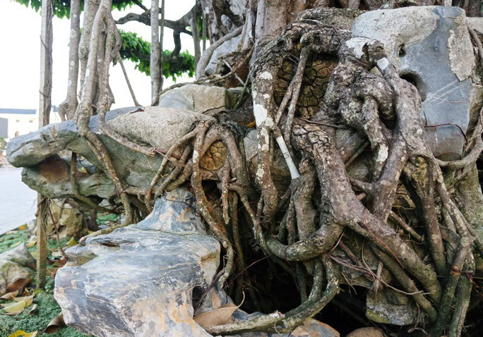 Choáng với cây sanh cổ được khách Nhật định giá hơn 20 triệu USD - Ảnh 13.
