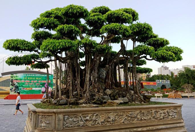 Choáng với cây sanh cổ được khách Nhật định giá hơn 20 triệu USD - Ảnh 3.