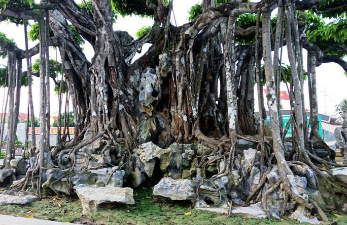 Choáng với cây sanh cổ được khách Nhật định giá hơn 20 triệu USD - Ảnh 9.
