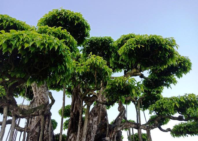 Choáng với cây sanh cổ được khách Nhật định giá hơn 20 triệu USD - Ảnh 6.