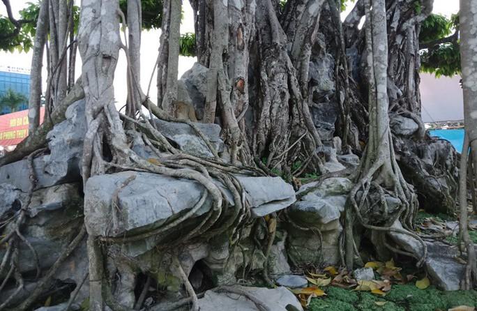 Choáng với cây sanh cổ được khách Nhật định giá hơn 20 triệu USD - Ảnh 11.