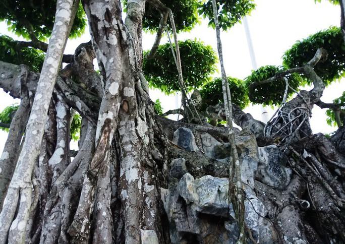 Choáng với cây sanh cổ được khách Nhật định giá hơn 20 triệu USD - Ảnh 10.