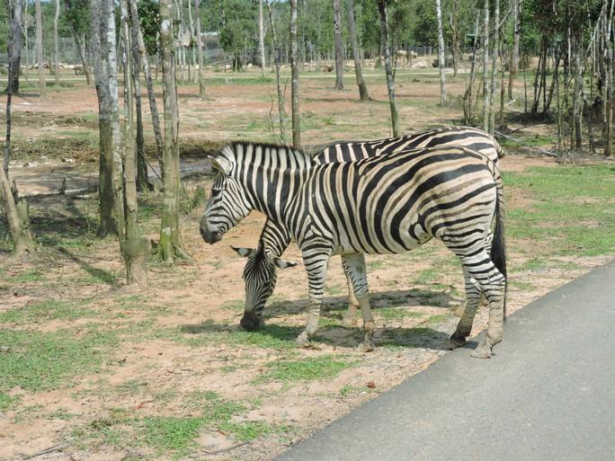 Clip: Những khoảnh khắc cưng muốn xỉu ở  vườn thú Safari Phú Quốc - Ảnh 29.