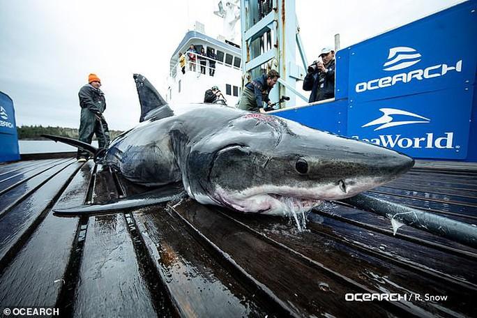 Cá mập trắng khổng lồ chết thảm với 2 cú cắn vào đầu - Ảnh 1.