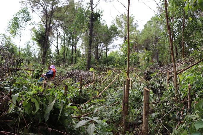 Quảng Nam: Điều tra vụ kẻ xấu chặt hạ hơn 4.000 cây keo - Ảnh 1.