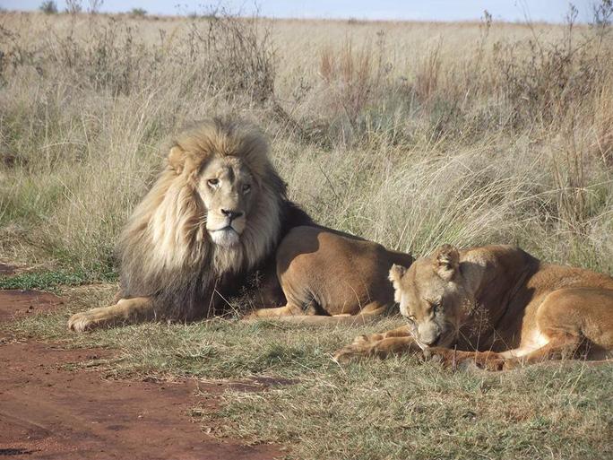 Đàn sư tử bị giết hại tàn ác để làm ma thuật ở Nam Phi - Ảnh 2.