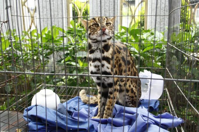 Phát hiện mèo rừng quý hiếm, có bộ lông tuyệt đẹp ngay tại TP HCM - Ảnh 1.