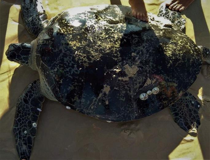 Rùa biển khủng có trong sách đỏ dính lưới ngư dân - Ảnh 1.