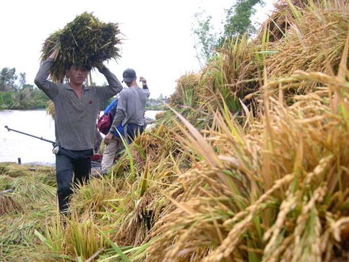 Lận đận thương hiệu gạo Việt - Ảnh 1.