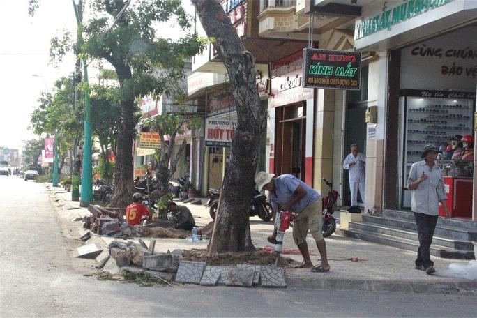 Vì sao hàng loạt cây xanh trên đường phố Đông Hà bị đốn hạ? - Ảnh 2.