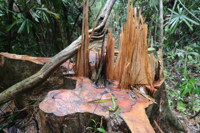 Rừng Quảng Nam tiếp tục bị tàn phá tan hoang - Ảnh 3.