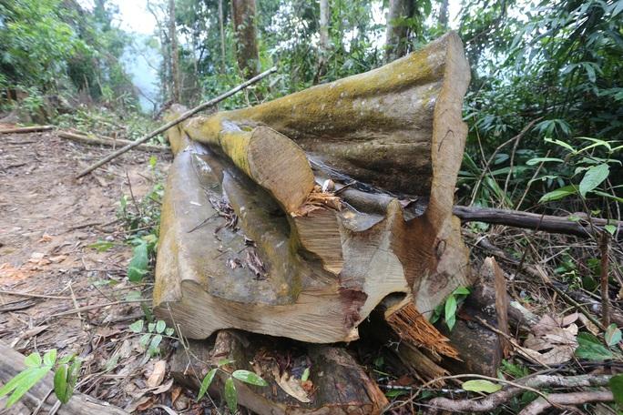 Rừng Quảng Nam tiếp tục bị tàn phá tan hoang - Ảnh 5.
