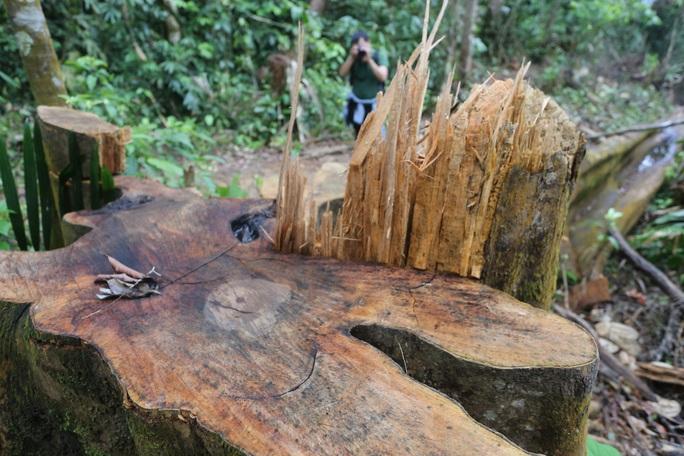 Rừng Quảng Nam tiếp tục bị tàn phá tan hoang - Ảnh 1.