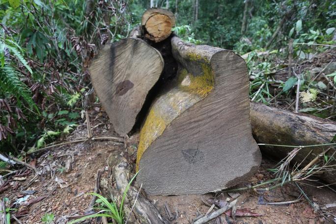 Rừng Quảng Nam tiếp tục bị tàn phá tan hoang - Ảnh 7.