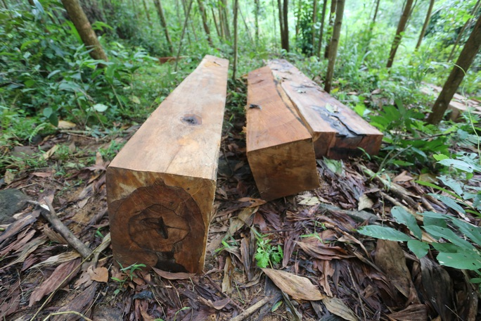 Rừng Quảng Nam tiếp tục bị tàn phá tan hoang - Ảnh 8.