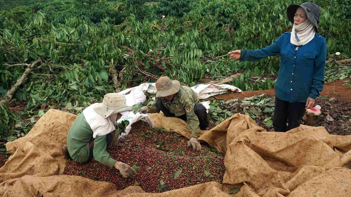 Thực hư việc chính quyền cưỡng chế cà phê đang chín mà không thông báo - Ảnh 3.