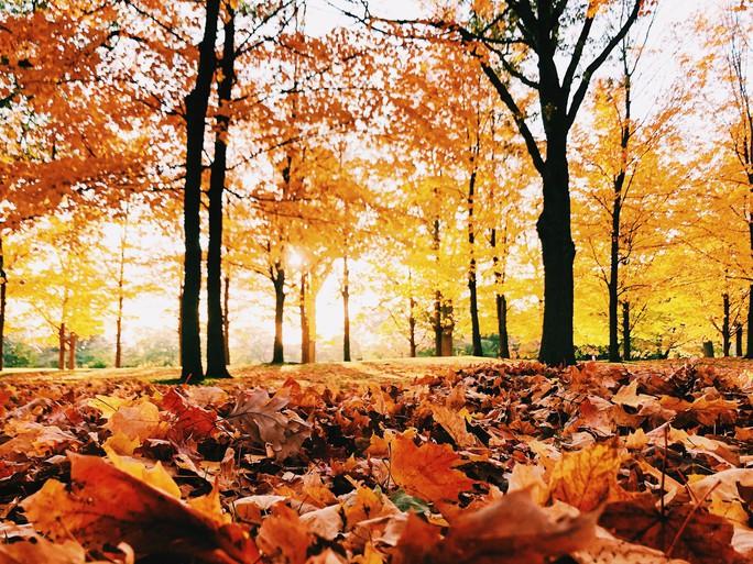 Mùa thu đã nhuộm vàng xứ sở lá phong - Ảnh 3.