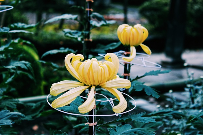 Rủ nhau ngắm hoa anh đào, nhiều người nhầm tưởng về quốc hoa Nhật Bản - Ảnh 3.