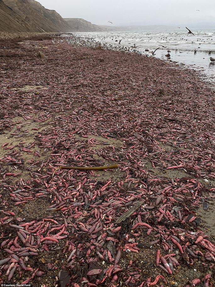 Cảnh tượng hiếm hoi: Hàng ngàn con cá dương vật bị bão cuốn lên bờ - Ảnh 2.