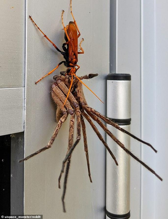 Ong bắp cày kéo lê nhện khổng lồ, trăn quấn chân trẻ 4 tuổi - Ảnh 1.