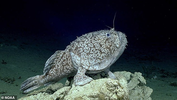 Cá có chân ở vịnh Mexico - Ảnh 2.