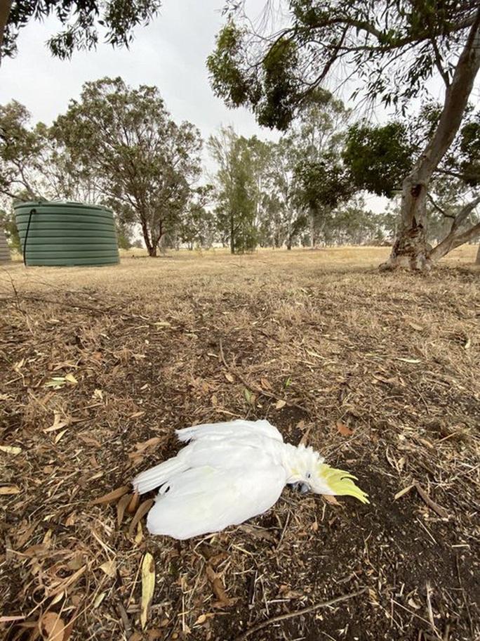Cháy rừng ở Úc: Động vật hoang dã bỏ chạy về phố - Ảnh 3.