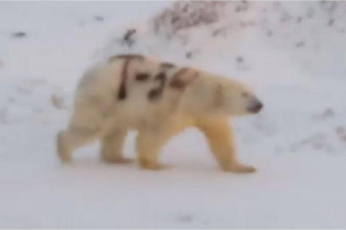 Chú gấu Bắc cực và dòng ký tự T-34 trên thân - Ảnh 1.