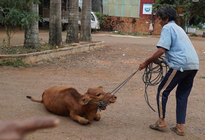Chuyện lạ Gia Lai: Cấp bò đứng không được cho dân nghèo làm giống! - Ảnh 1.