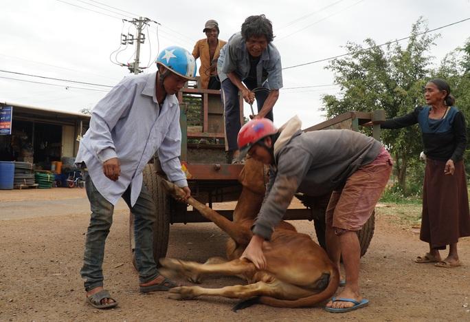 Vụ cấp bò không đứng được cho dân làm giống: Do bò... nhút nhát (?!) - Ảnh 2.