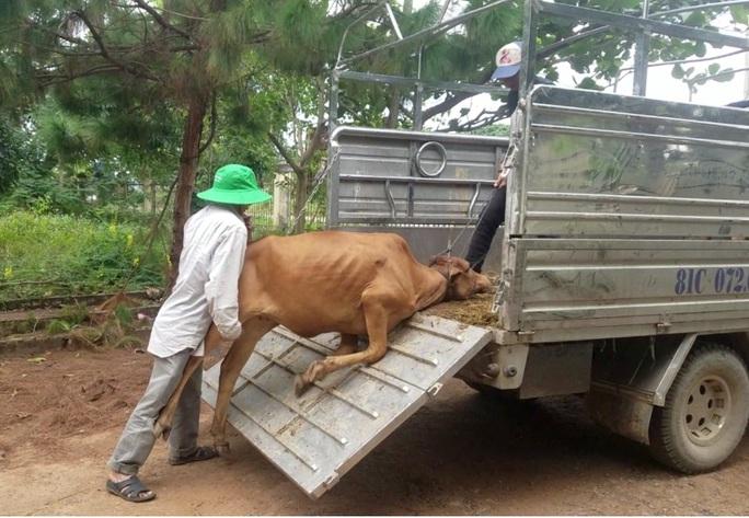 Chuyện lạ Gia Lai: Cấp bò đứng không được cho dân nghèo làm giống! - Ảnh 5.