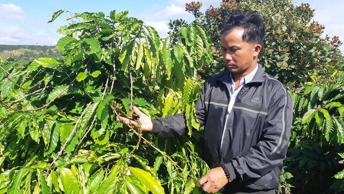 Ngang nhiên hái trộm gần 600 cây cà phê trong nhiều ngày - Ảnh 1.