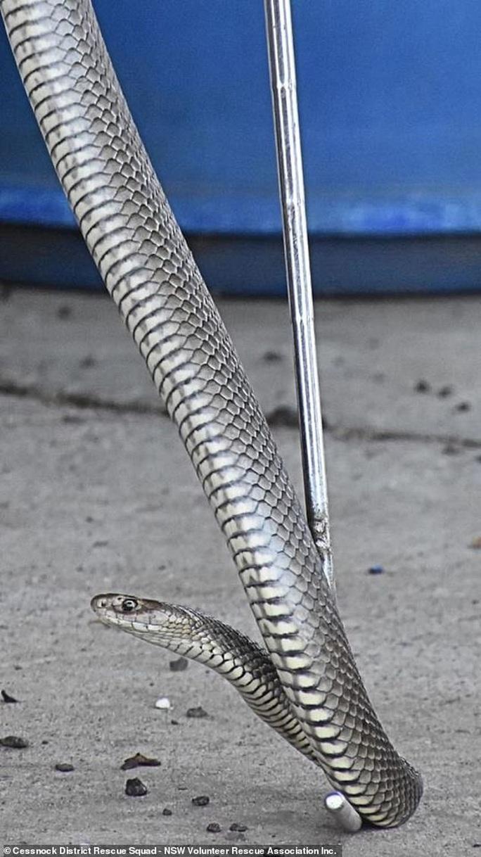 Giẫm trúng rắn độc thứ 2 thế giới nhưng không chết - Ảnh 1.