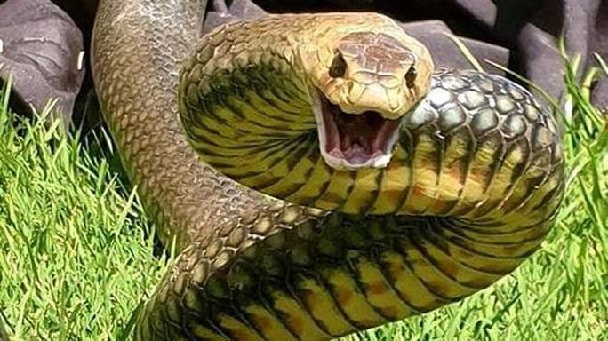 Giẫm trúng rắn độc thứ 2 thế giới nhưng không chết - Ảnh 3.
