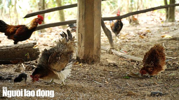 Kì lạ giống gà lông ngược, chỉ nuôi chứ không bán - Ảnh 4.