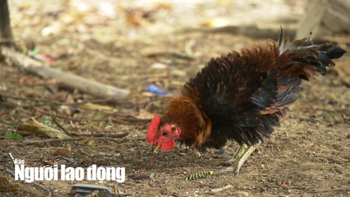 Kì lạ giống gà lông ngược, chỉ nuôi chứ không bán - Ảnh 5.