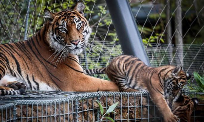 Hổ Sumatra đực giết con cái ngay lần hẹn hò đầu tiên - Ảnh 2.