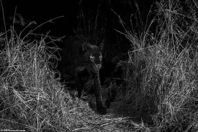 Loạt ảnh đẹp tuyệt của báo đen cực hiếm ở Châu Phi - Ảnh 6.