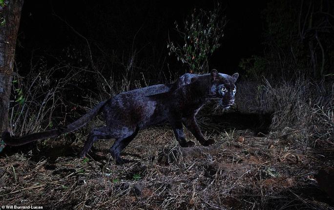 Loạt ảnh đẹp tuyệt của báo đen cực hiếm ở Châu Phi - Ảnh 2.