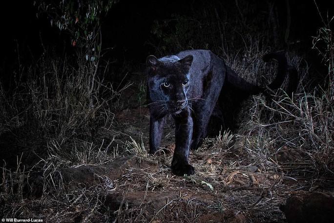 Loạt ảnh đẹp tuyệt của báo đen cực hiếm ở Châu Phi - Ảnh 1.