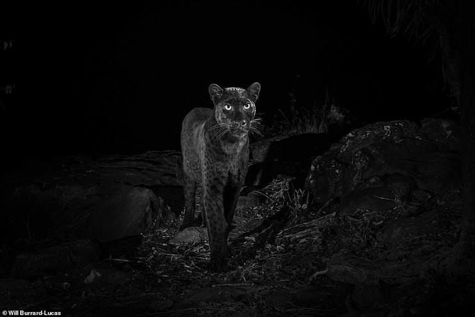Loạt ảnh đẹp tuyệt của báo đen cực hiếm ở Châu Phi - Ảnh 5.