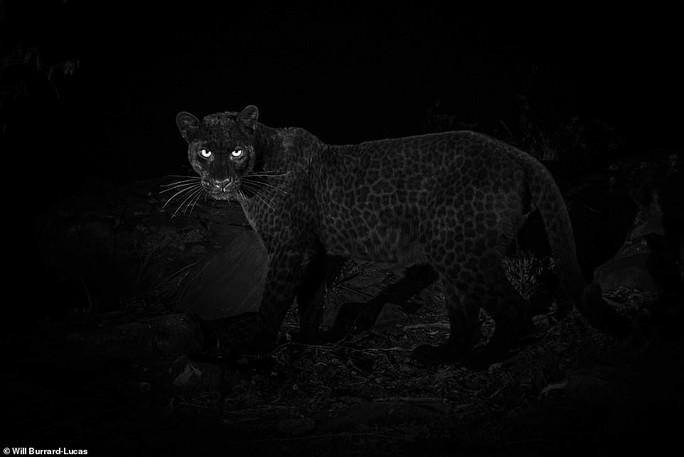 Loạt ảnh đẹp tuyệt của báo đen cực hiếm ở Châu Phi - Ảnh 4.