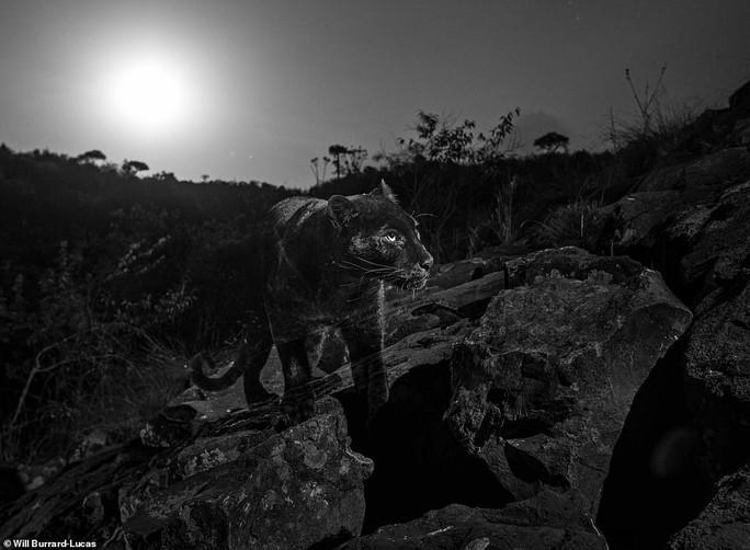 Loạt ảnh đẹp tuyệt của báo đen cực hiếm ở Châu Phi - Ảnh 3.