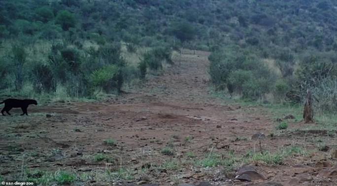 Loạt ảnh đẹp tuyệt của báo đen cực hiếm ở Châu Phi - Ảnh 8.